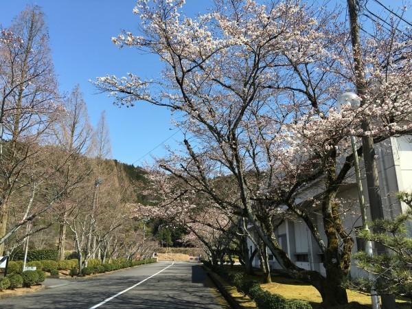 桜が少し咲き始めた。