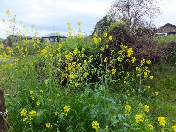 桂川の菜の花を見る。