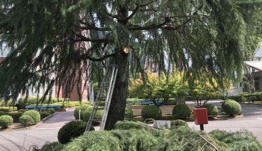 ヒマラヤ杉が剪定された。