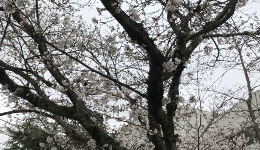 桜の季節だが、、、