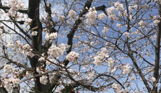 桜が咲き始めている。
